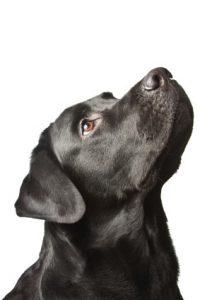 Black Labrador basic training