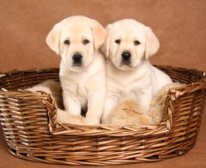 Two yellow lab puppies in their basket.