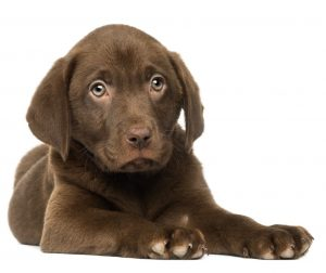 Finding the right puppy food for hungry puppies
