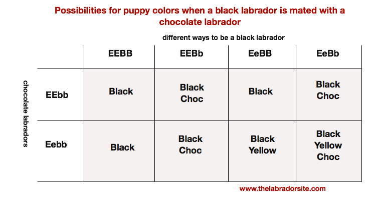 What Colors Make Yellow labrador color inheritance - with new puppy color charts