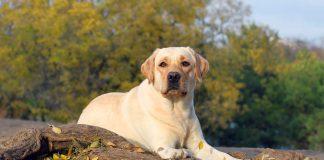 Yellow Labrador Retriever Characteristics
