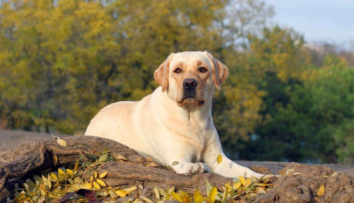 Yellow Labrador Retriever Characteristics