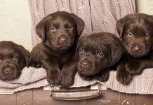 41 Ways To Spot A Bad Labrador Breeder - The Labrador Site