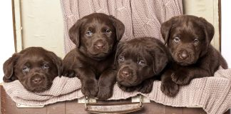 chocolate lab - your perfect companion