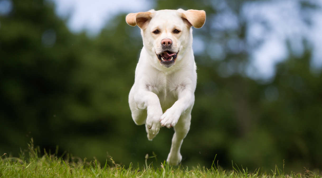 How To Train Recall To A Dog