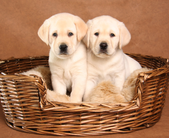 Find a labrador breeder