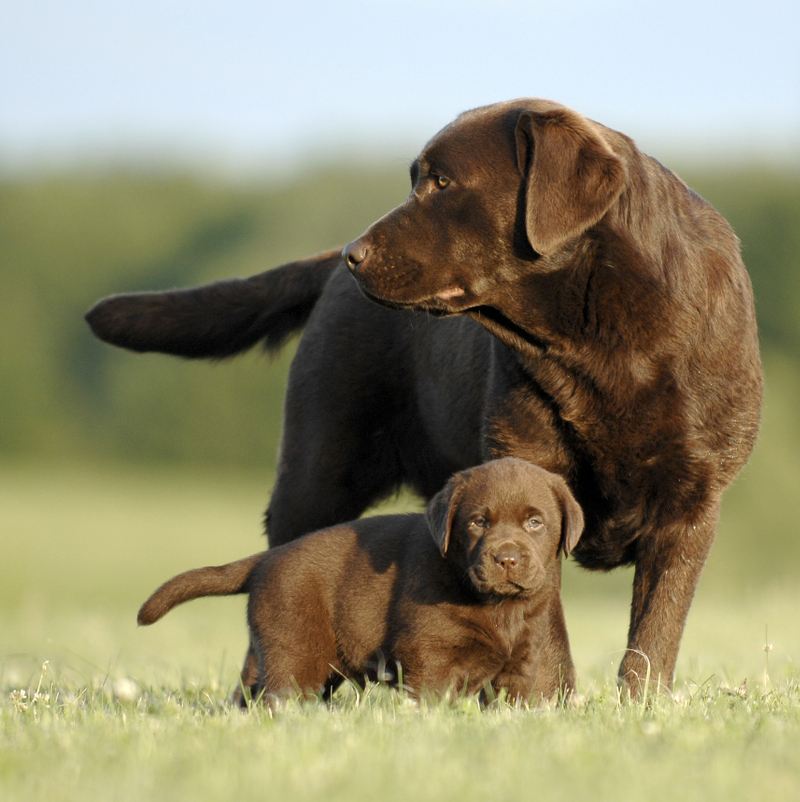 Breeding From Your Labrador The Labrador Site