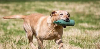 a working labrador retriever
