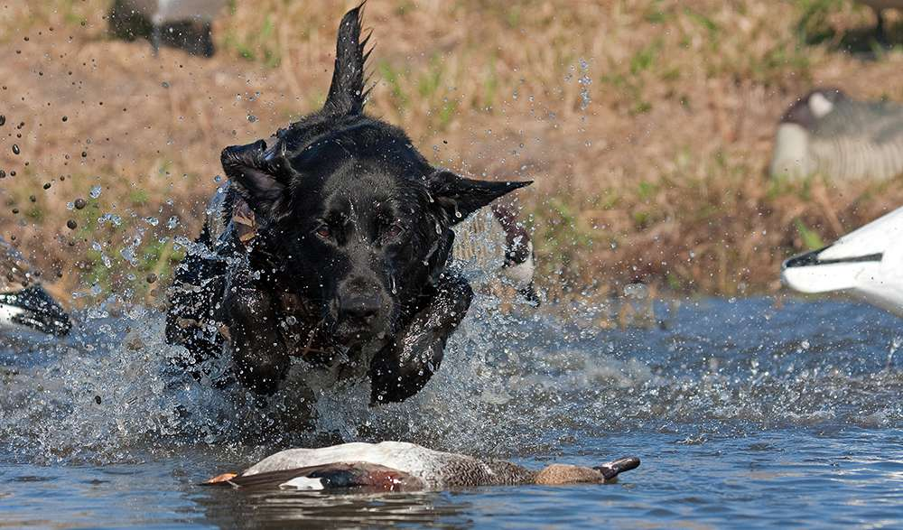 working retriever fetches a duck