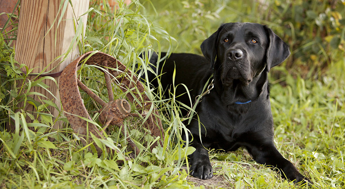 Beautiful black lab waiting for his master