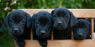 Four gorgeous Black Labs