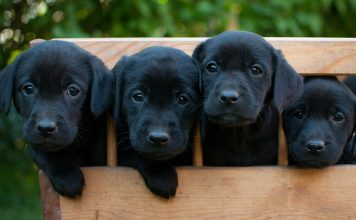 Four gorgeous Black Labs