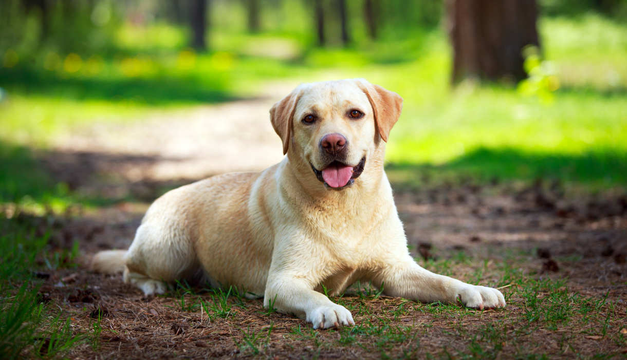 labrador breed standard