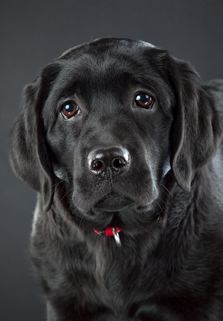 Black Lab - Your Guide...