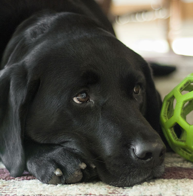 One way to find your black Lab dog is via an animal rescue shelter. Find out more in this article