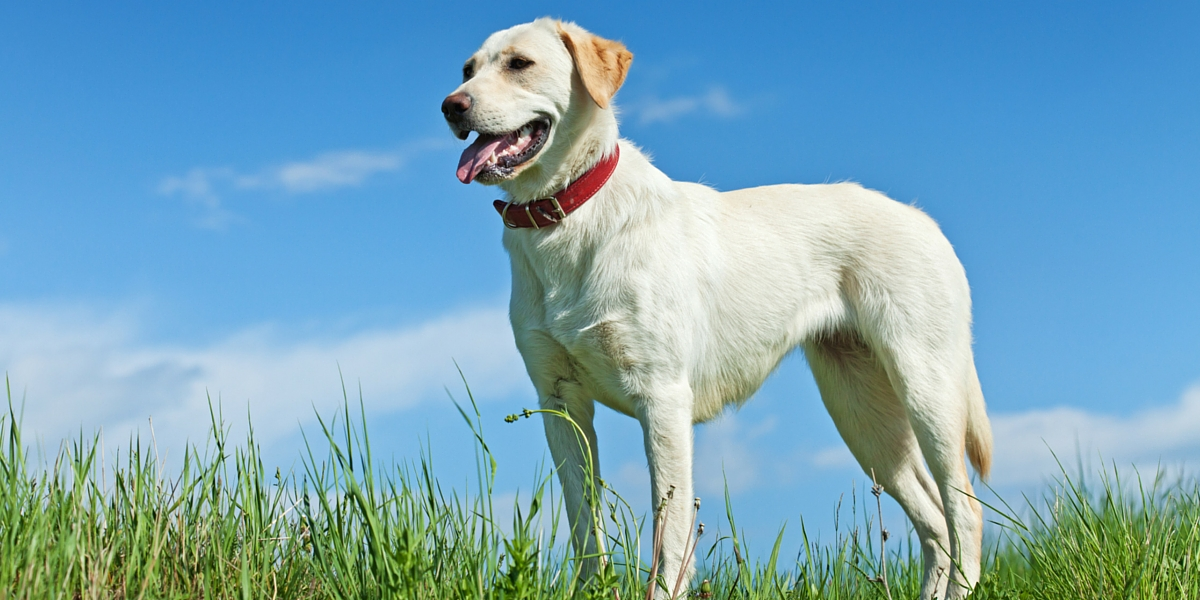 slim yellow labrador