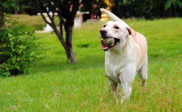 labradors love to fetch a ball