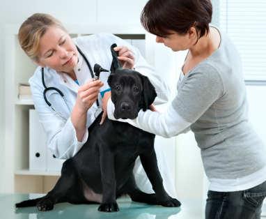 Labrador at the vet