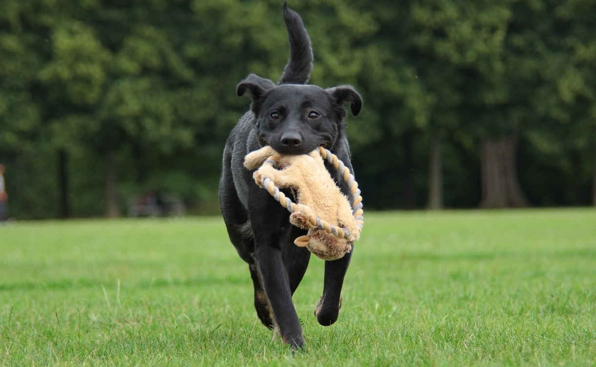 lab carrying toy