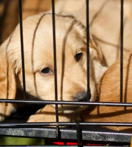 Crate training your labrador puppy