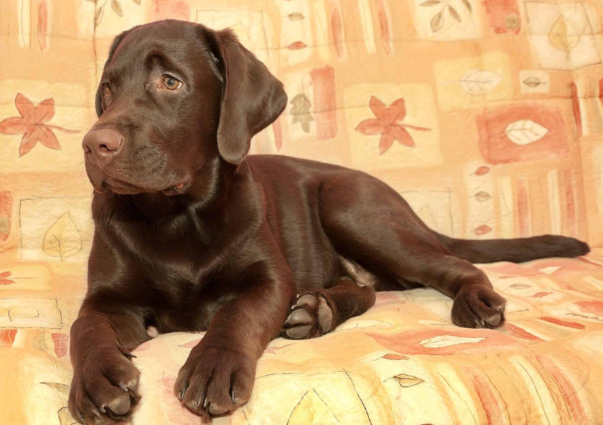 Labrador Behaviour - The Labrador Site