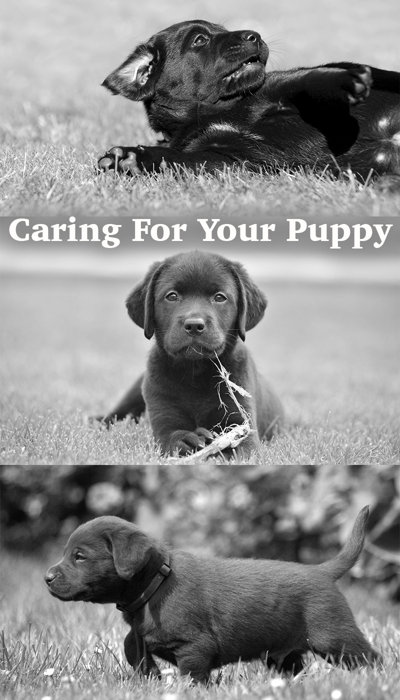 Everything you need to know about caring for your Labrador Puppy!