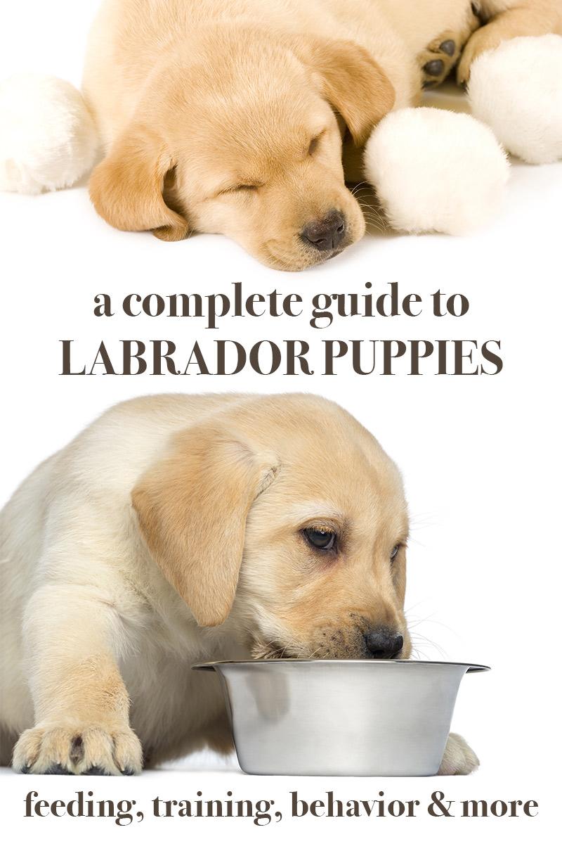 Labrador Puppies - A Complete Guide