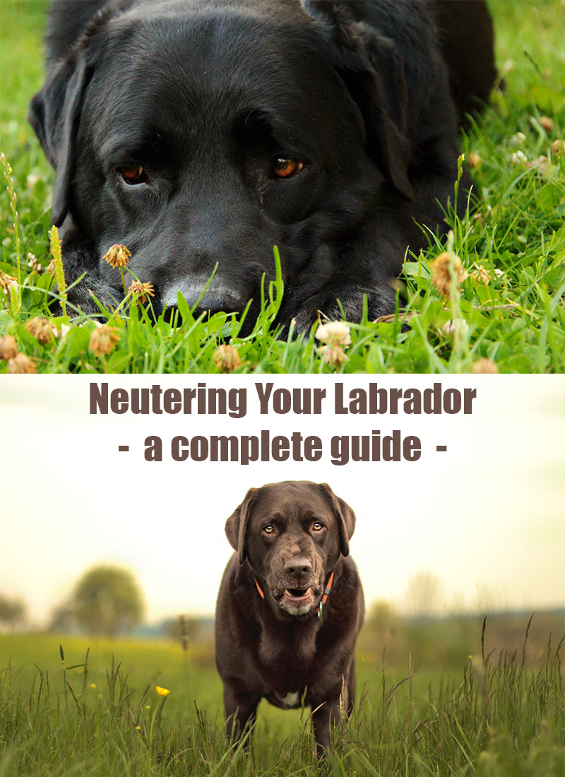 Neutering Your Labrador - The Labrador Site