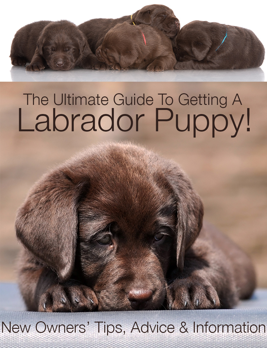 Some great articles, tips and advice for anyone thinking of getting a Labrador puppy