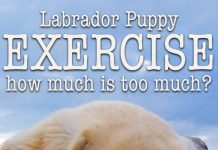 How much exercise is too much for a small puppy. Find out here.