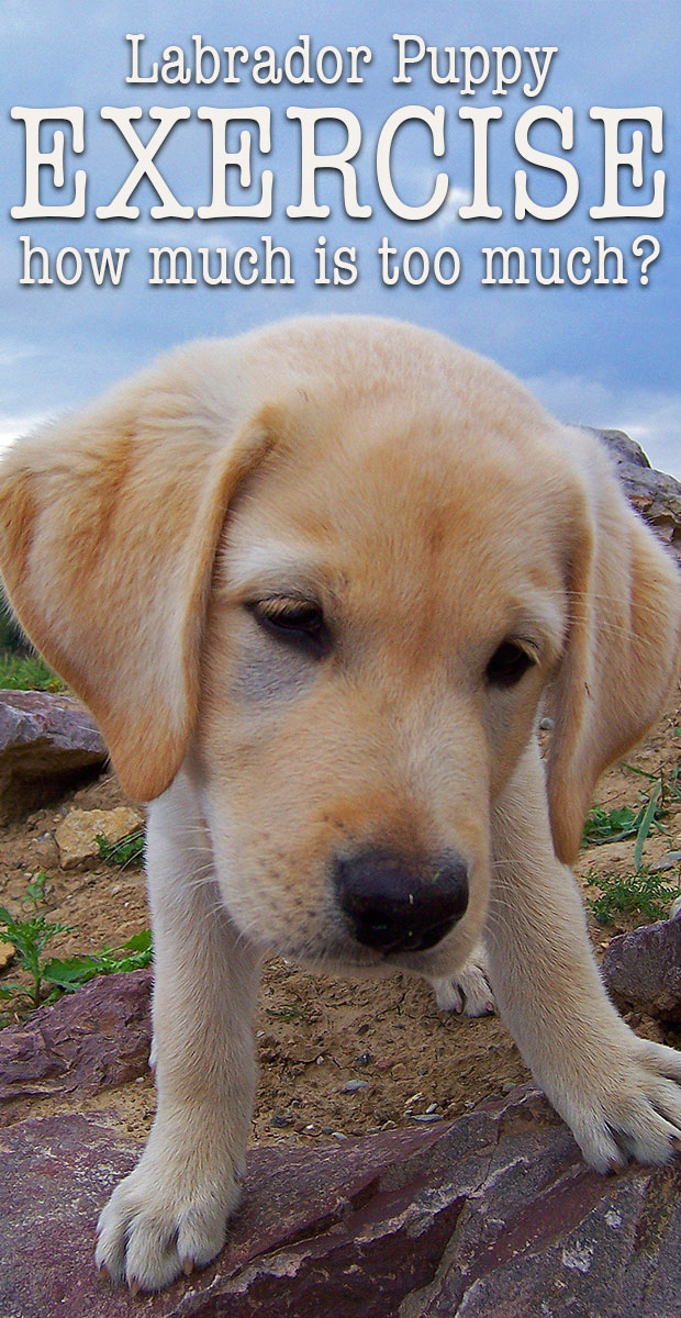 Labrador Puppy Exercise How Much Is Too Much