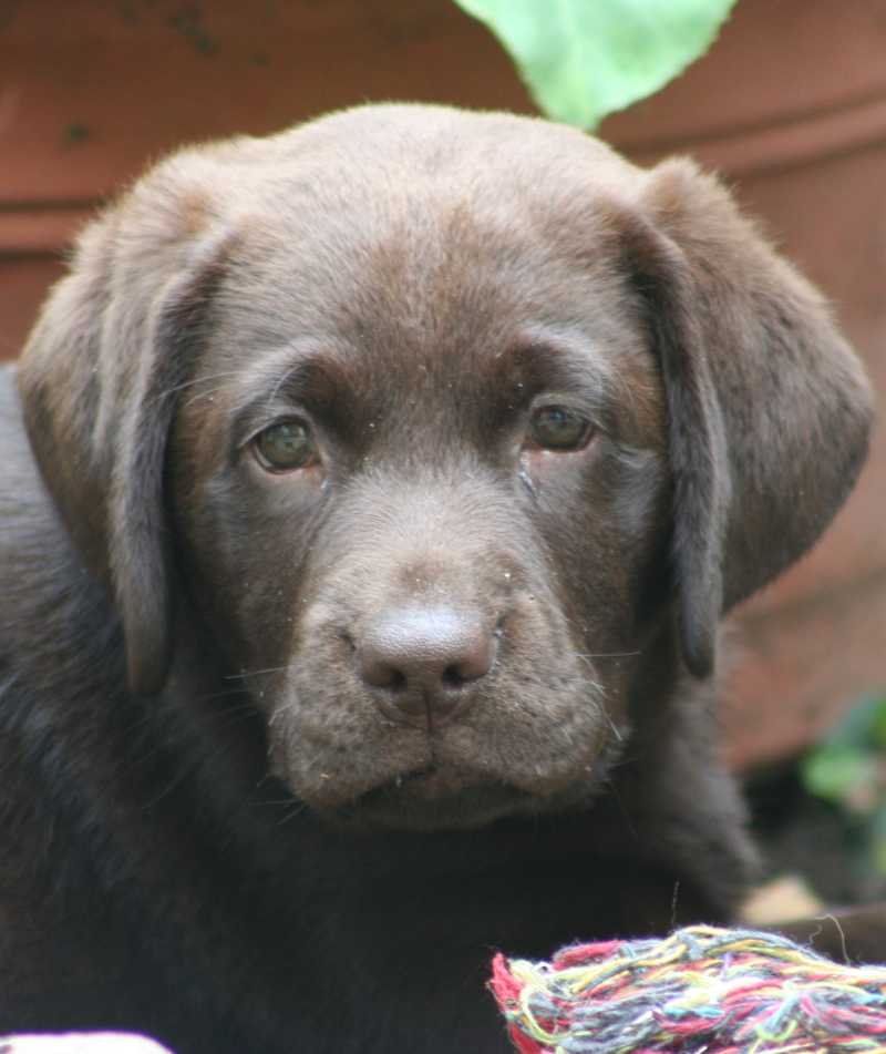 ... advised to dominate or pin down, their eleven week old Labrador puppy