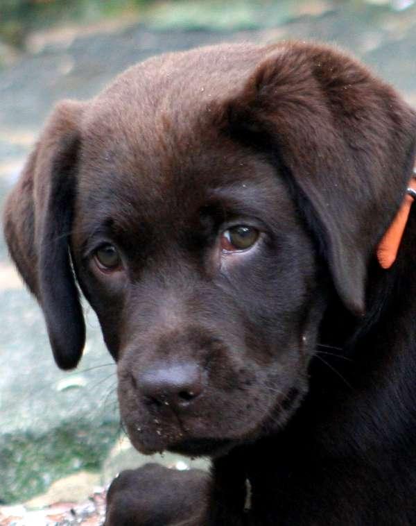 socialise-labrador-puppy