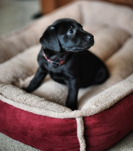 luxury bed for Labrador puppy