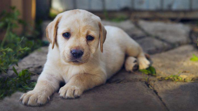Soft Toys For Labradors