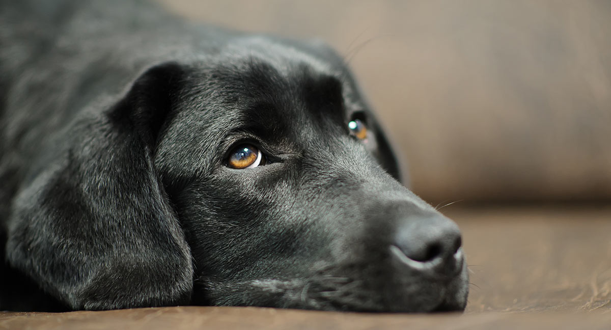 Labrador Health Problems - The Information You Need