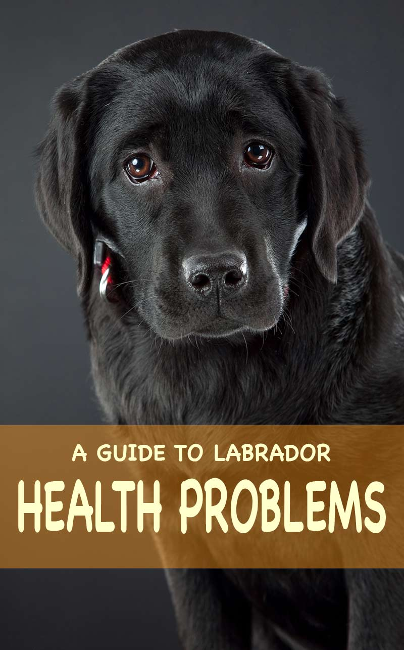 labrador health problems the information you need