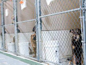 Sending Labrador away for training