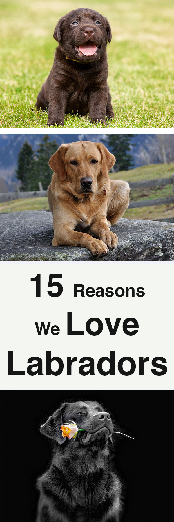 15 reasons we love labradors