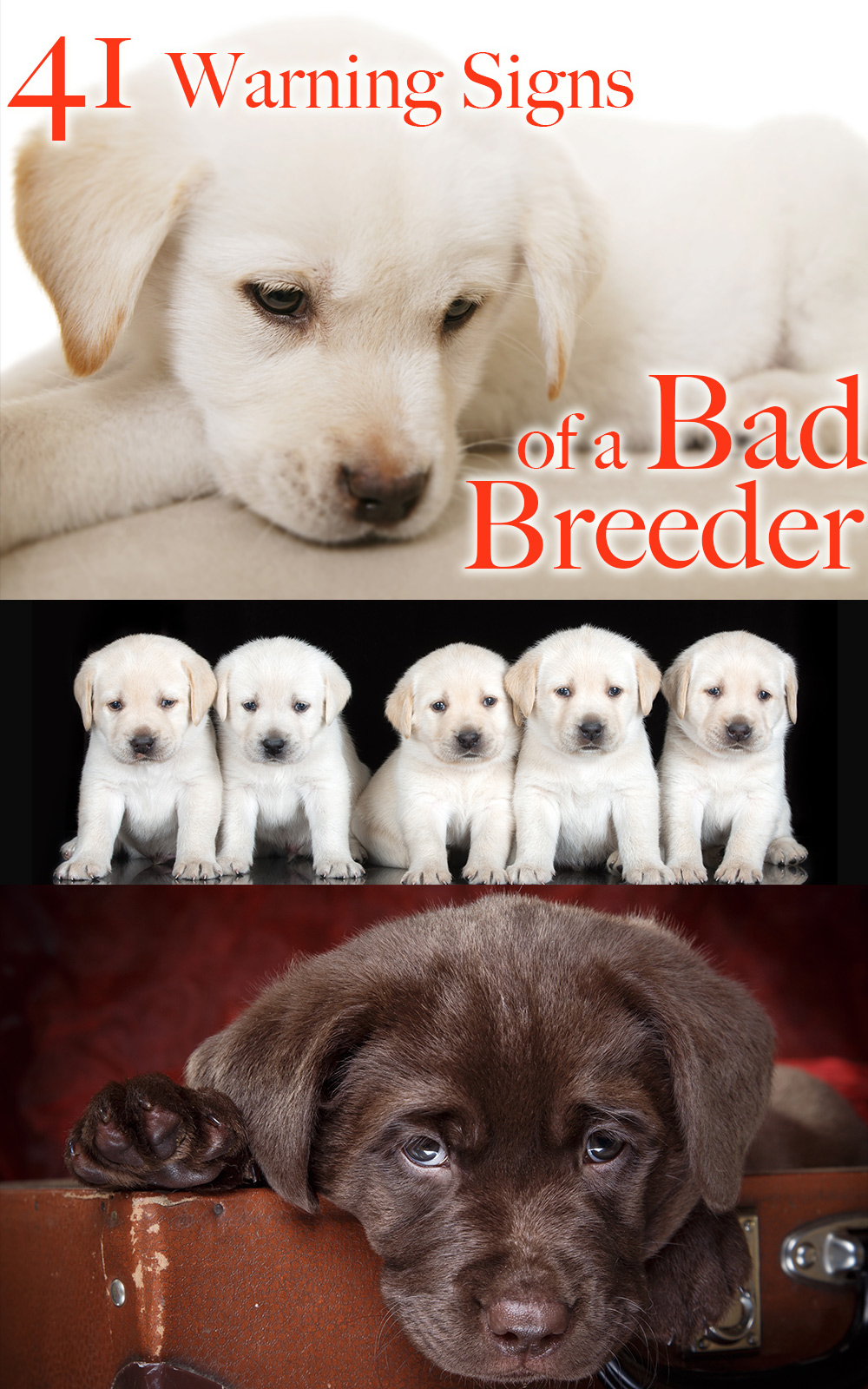 41 Ways To Spot A Bad Labrador Breeder - The Labrador Site