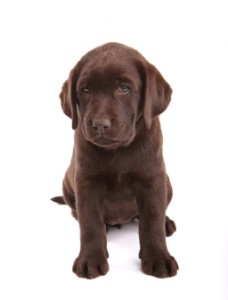 House-training your labrador