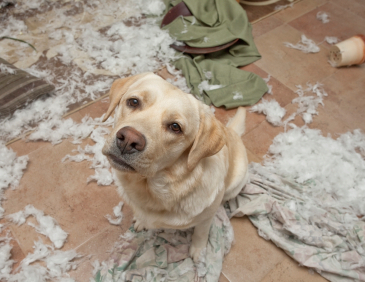 Naughty Labrador