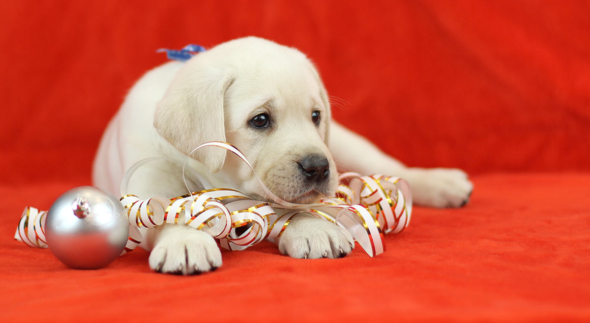 lab-puppy-christmas