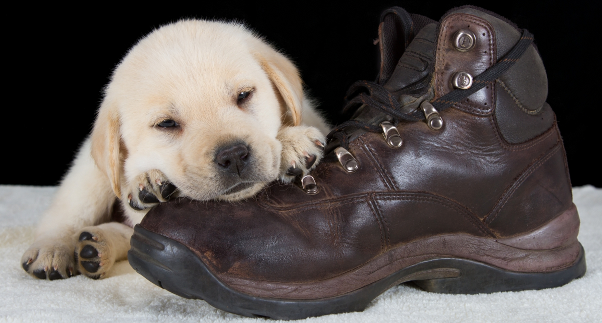 Puppy chewing up shoes
