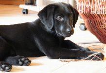 labrador puppy chewing