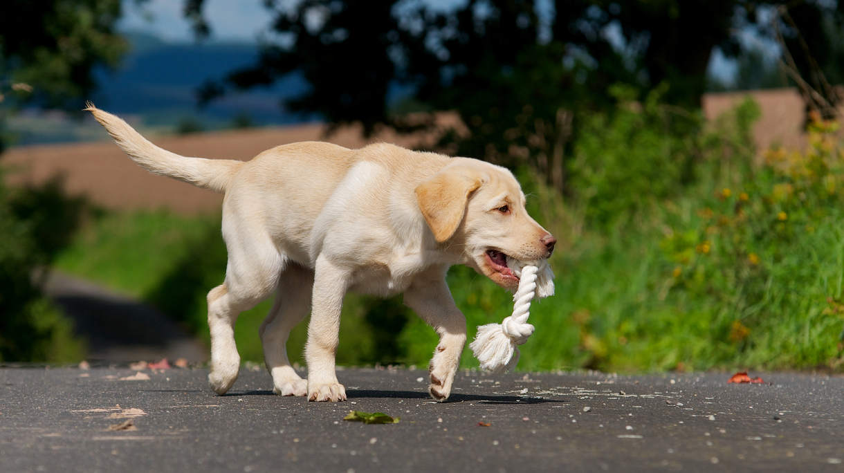 labrador puppy with rope toy