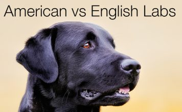 Find out which type of Labrador is the right choice for you and your family