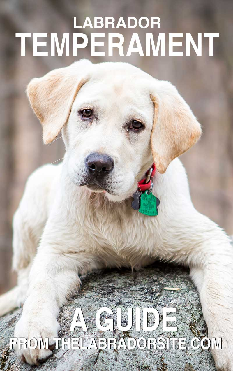 Find out what Labradors are really like in our detailed and up to date guide on Labrador temperament