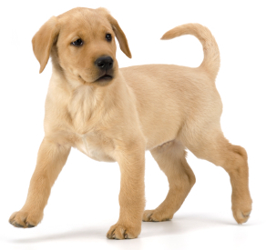yellow-labrador-puppy