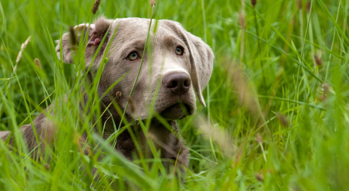 Silver Lab lying in long grass